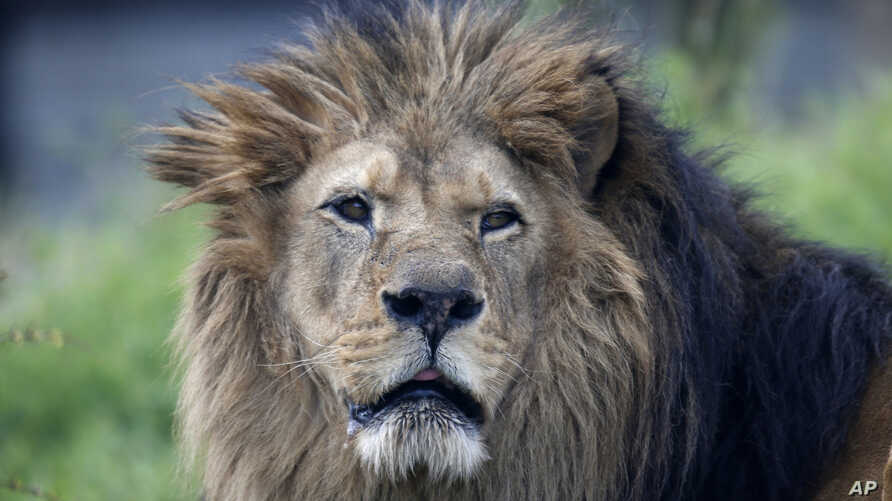 An African lion at the Paris Zoological Park, Bois de Vincennes, east of Paris, April 8, 2014.