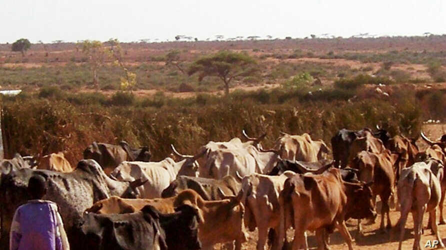FILE - In this photo provided by the British charity Oxfam, a young boy is seen herding cattle in drought-hit Moyale, Ethiopia, on Feb. 15, 2006.