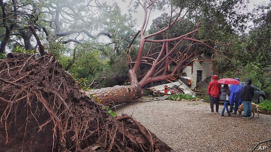 A large stone pine tree believed to be 100 years old came down into this Santa Barbara, Calif., home, Feb. 2, 2019, during Saturday's powerful winter storm. A wind gust in Santa Barbara County topped 80 mph (128 kph) as the storm moved south and late