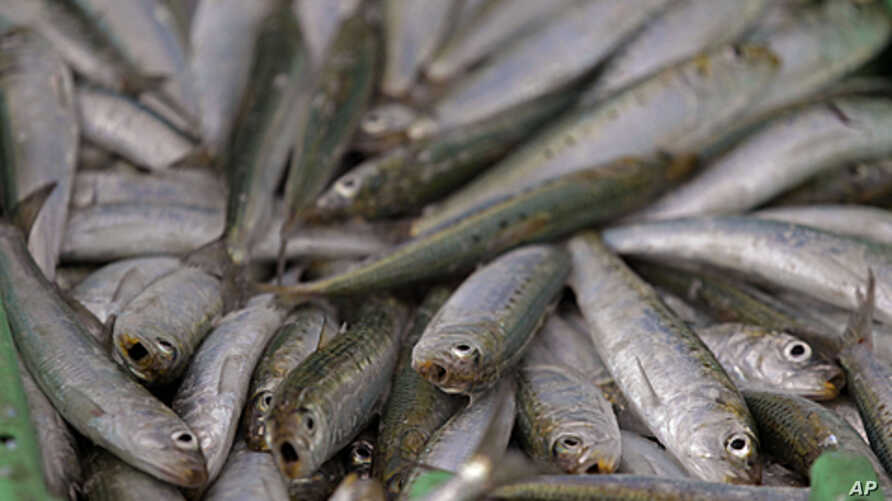 A catch of sardines at the Hout Bay Harbour near Cape Town, South Africa (file photo).