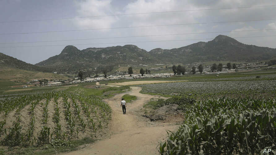 "FILE - A man walks on a dirt path between cornfields in Nampho, North Korea, in June 2015, when the country was enduring what state media called ""the worst drought in 100 years."""