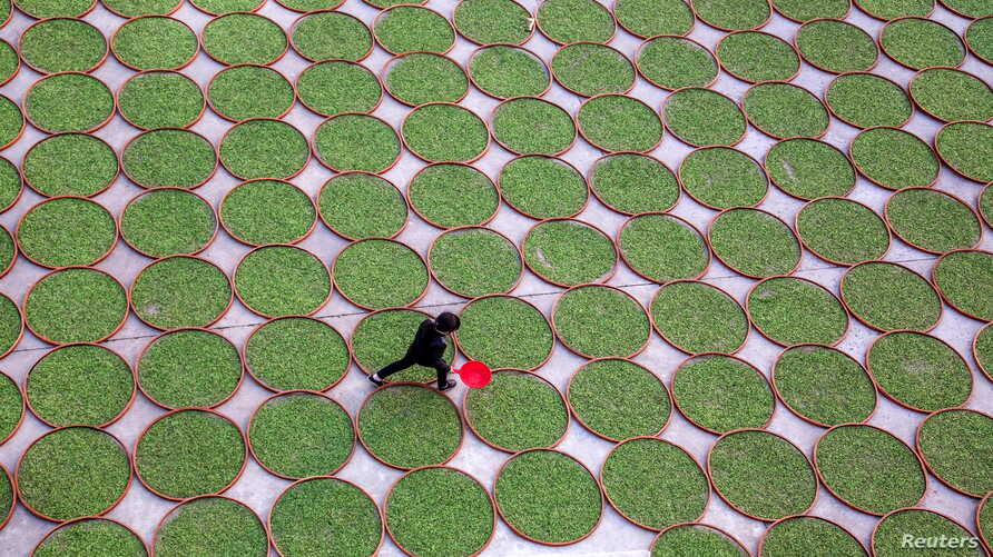 A woman walks in a yard where tea leaves are dried at a tea company in Dening, Fujian Province, China, April 2, 2016. Picture taken April 2, 2016.