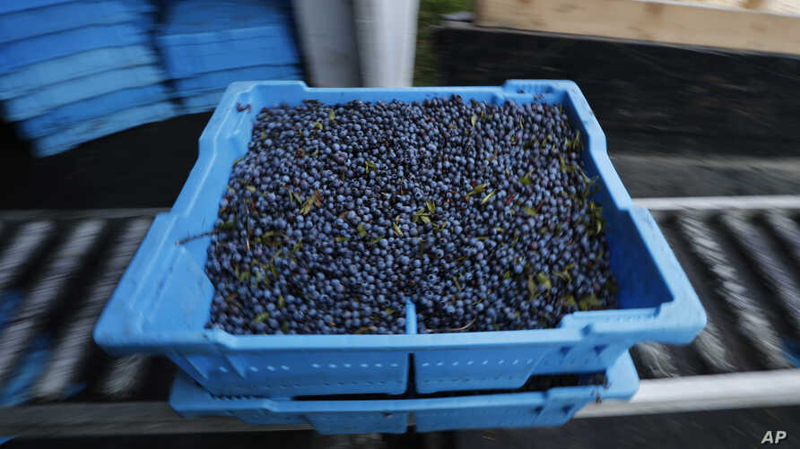 Aa tray of wild blueberries is unloaded at the Coastal Blueberry Service in Union, Maine, Aug. 24, 2018.