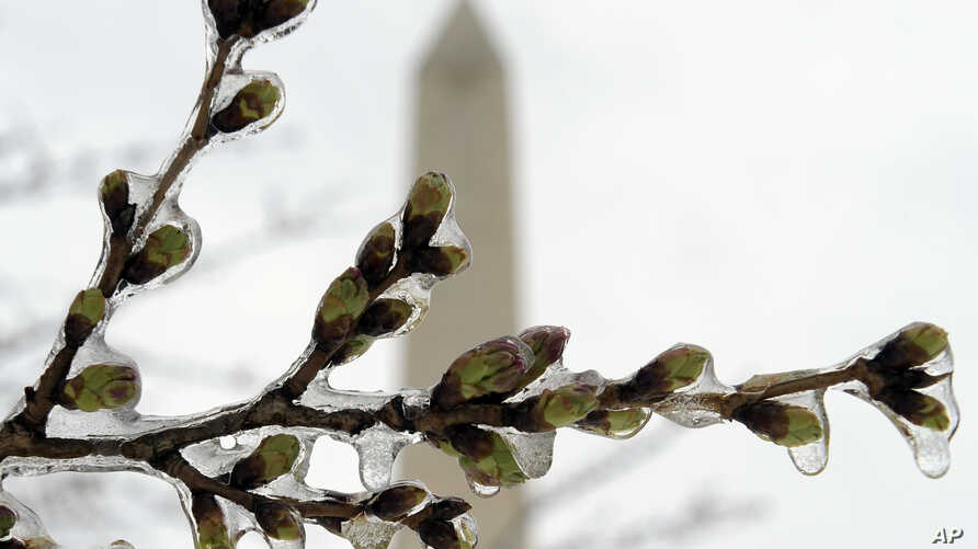 FILE - Washington's famed cherry blossoms are covered in ice, March 14, 2017, during a late winter storm in Washington, looking toward the Washington Monument.
