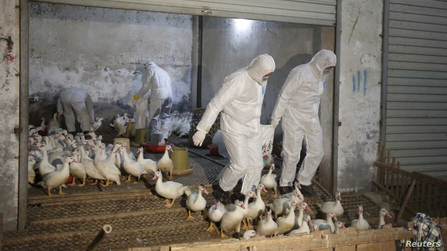 Health officials in protective suits transport sacks of poultry as part of preventive measures against the H7N9 bird flu at a poultry market in Zhuji, Zhejiang province, Jan. 6, 2014.