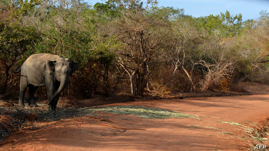 FILE - A photo taken in September 2014 in the southern district of Yala shows a Sri Lankan elephant walking at the Yala National Park. In recent years, parts of the Indian Ocean island have faced severe drought, while others endured heavy flooding du