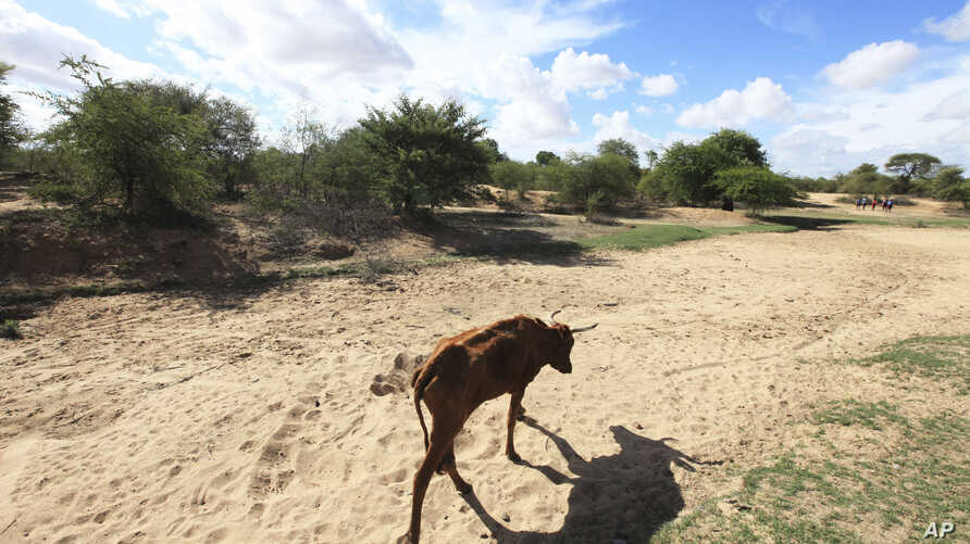 UN Climate Talks: FILE - In this file photo taken Sunday Jan. 29, 2016,  a malnourished  cow walks along a dried up river bed in the village of Chivi, Zimbabwe.