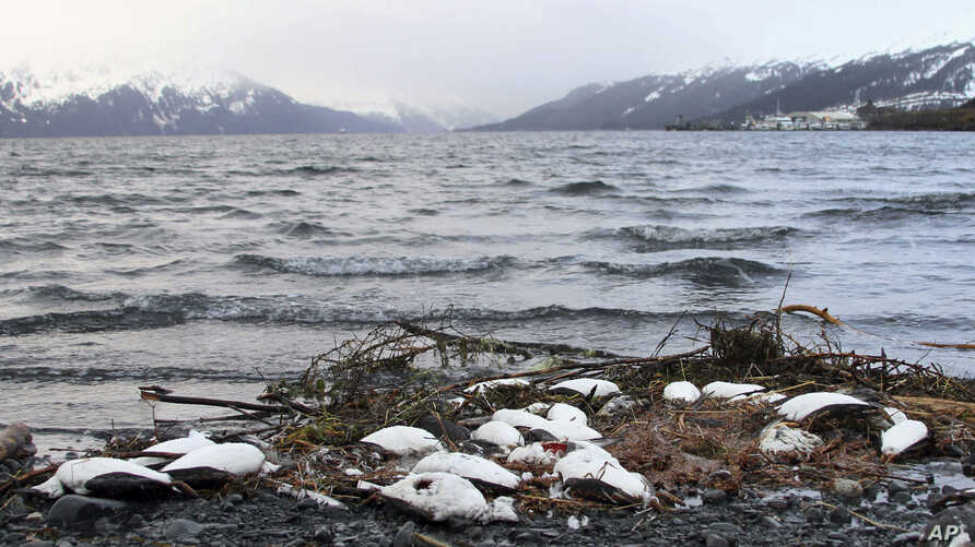 FILE - Dead common murres lie washed up on a rocky beach in Whittier, Alaska, Jan. 7, 2016. The bird die-off was not as extensive as one two years earlier but continued a trend of avian mortality over five years that may be tied to warming water in t