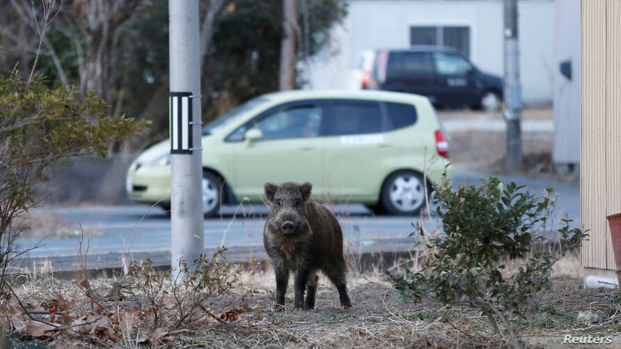 A wild boar is seen at a residential area in an evacuation zone near Tokyo Electric Power Co's tsunami-crippled Fukushima Daiichi nuclear power plant in Namie town, Fukushima prefecture, Japan, March 1, 2017.