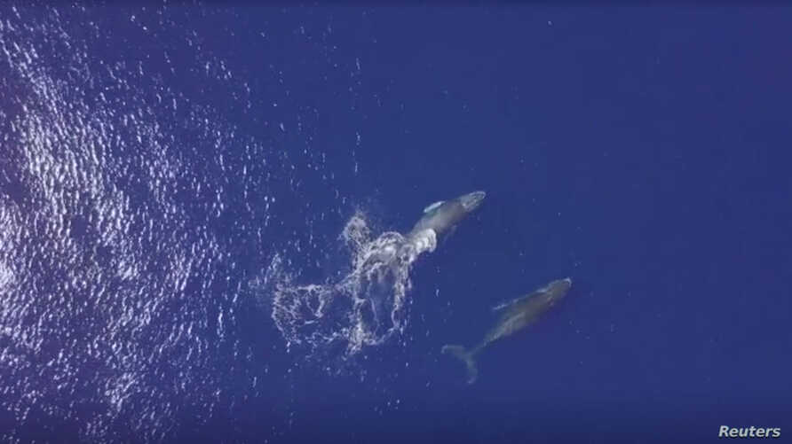 Humpback whale with her calf is seen near the French Indian Ocean island of La Reunion, October 17, 2018 in this still image taken from a video.