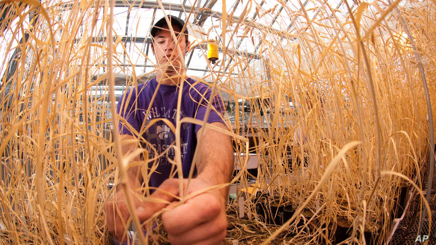 Wheat researcher at work in a greenhouse at Kansas State University.