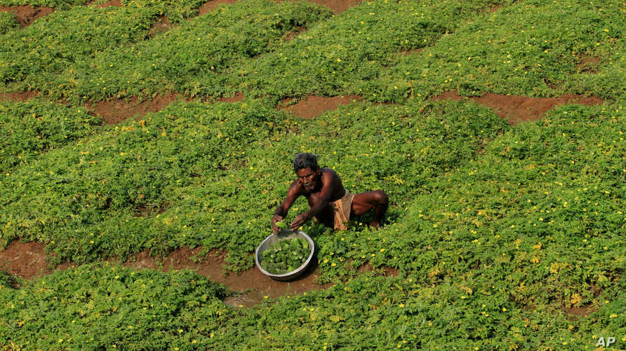 An Indian farmer on the outskirts of Bhubaneswar, India, Feb. 29, 2016. Indian Finance Minister Arun Jaitely on Monday presented country's annual budget for 2016-17 where he proposed spending nearly $13 billion on rural development.