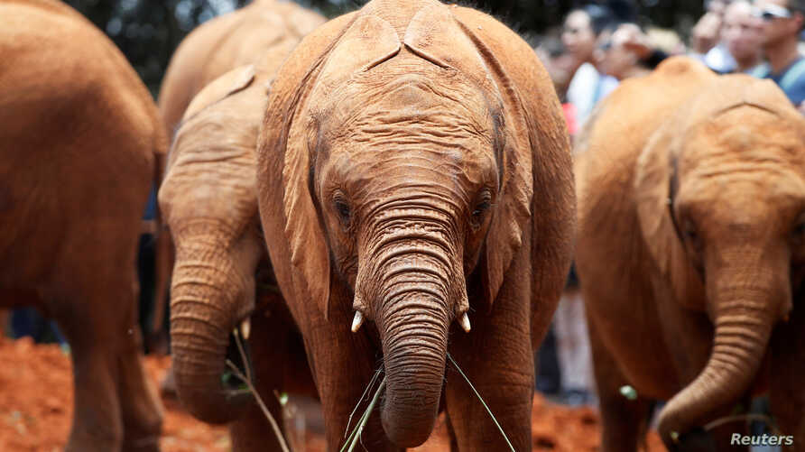 Orphaned baby elephants are seen after being bottle-fed, at the David Sheldrick Elephant Orphanage near Nairobi, Kenya, Oct. 2, 2018.