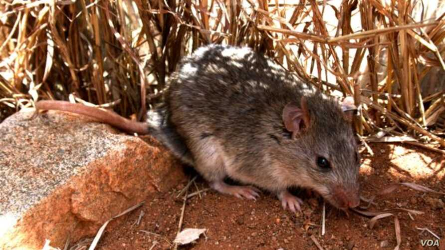 Defaunation is leading to declines in selective large mammals. Small mammals, such as mice (shown here, the broad headed mouse, Zelotomys hildagardae) benefit, and often cause nuisances to humans - by vectoring diseases or destroying crops.  (Lauren