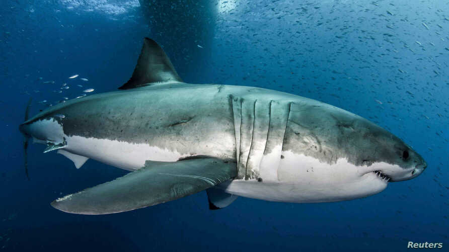 A great white shark is seen in the waters near Guadalupe Island off the coast of Mexico in this 2012 handout photo.