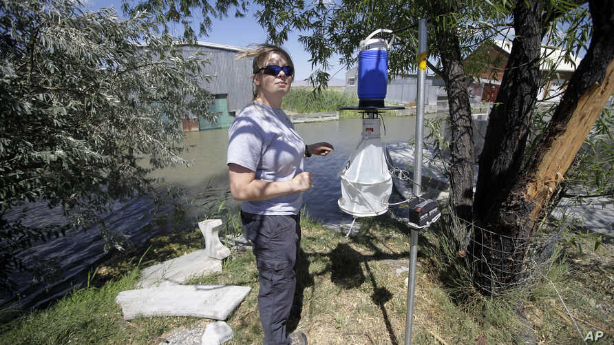 Nadja Mayerle with the Salt Lake City Mosquito Abatement District collects a mosquito trap Tuesday, July 19, 2016, near the marshes, in Salt Lake City. Health authorities in Utah are investigating a unique case of Zika found in a person who had been