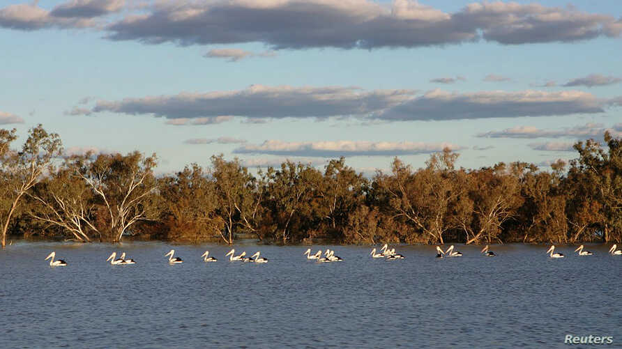 In an undated photograph, pelicans swim in a river at the cotton producer Cubbie Station near Dirranbandi in Queensland, 600 km (373 miles) west of Brisbane, August 17, 2009.