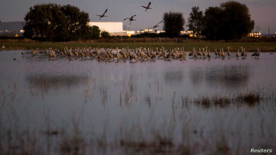 Sandhill cranes land in flooded fields at the Sandhill Crane Reserve near Thornton, California, Nov. 3, 2015. The state's ongoing drought has left millions of waterfowl that migrate from northern climes to winter in California, with fewer places to l