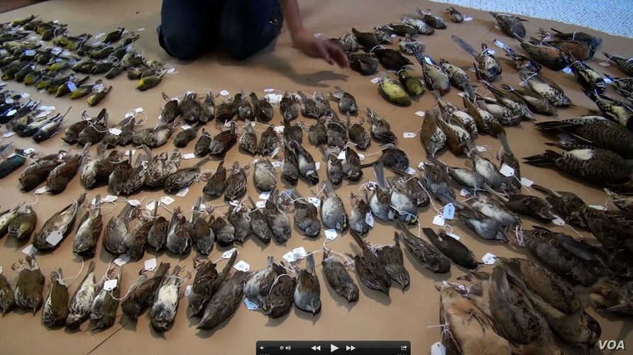 Experts estimate that more than 100 million migrating birds die each year in North America when they become confused by artificial lights at night and collide with glass buildings. A growing movement to save birds from the fatal collision has been ta