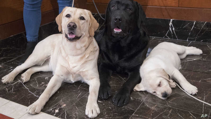 FILE- In this March 28, 2018 file photo, Labrador retrievers Soave, 2, left, and Hola, 10-months, pose for photographs as Harbor, 8-weeks, takes a nap during a news conference at the American Kennel Club headquarters in New York.