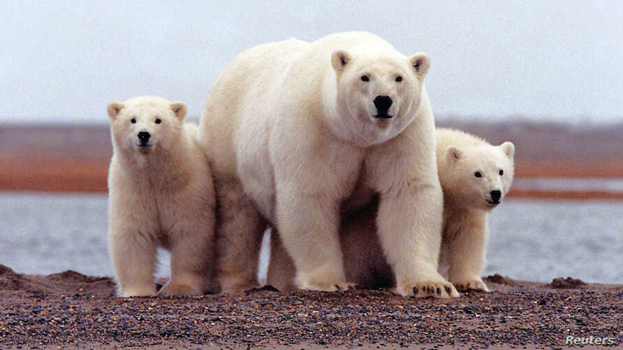A polar bear keeps close to her young along the Beaufort Sea coast in Arctic National Wildlife Refuge, Alaska in a March 6, 2007 file photo.