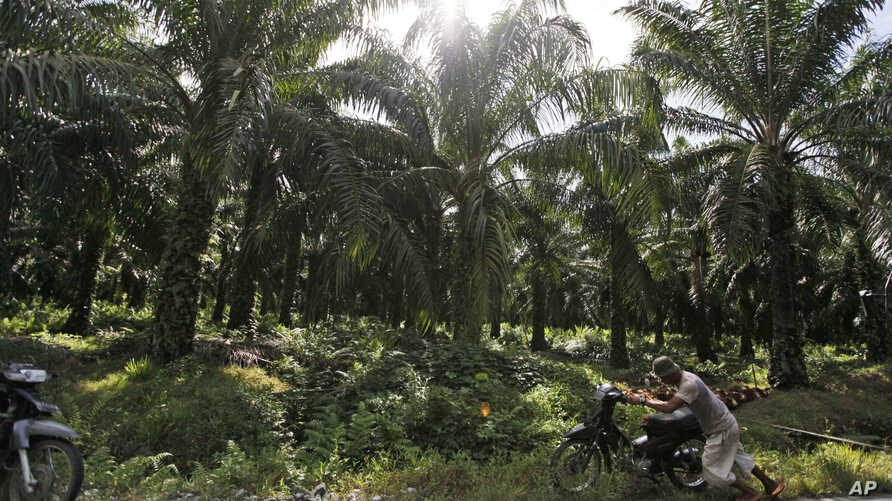 FILE - In this Sept. 29, 2012, file photo, a man pushes his motorbike at a palm oil plantation in Nagan Raya, Aceh province, Indonesia. Greenpeace said Monday, March 19, 2018 household brands including PepsiCo and Johnson & Johnson are refusing to di
