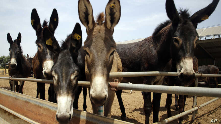 """Donkeys raised by subcontractors of the world's largest donkey skin gel producer await for lunch in the city of Dong'e in eastern China's Shandong province, May 14, 2018. Growing hunger for the gel, known as """"ejiao"""" in Chinese and believed to have me"""