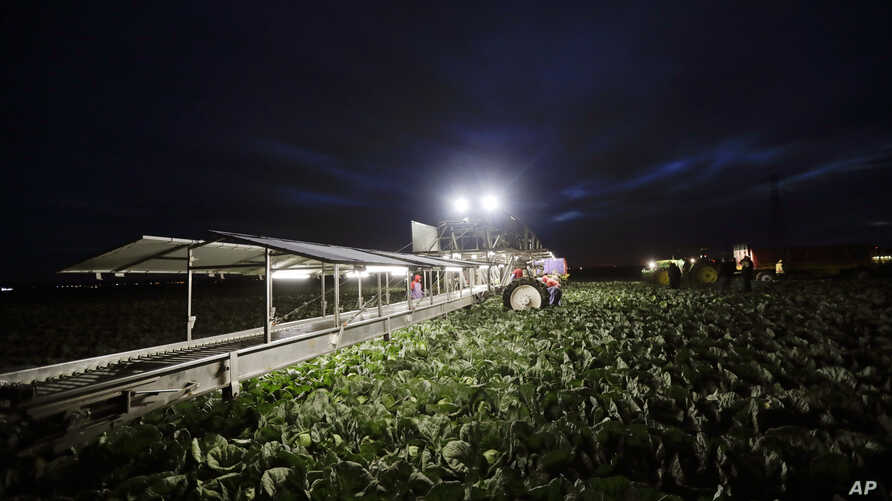 In this March 6, 2018 photo, farmworkers harvest cabbage before dawn in a field outside of Calexico, Calif.