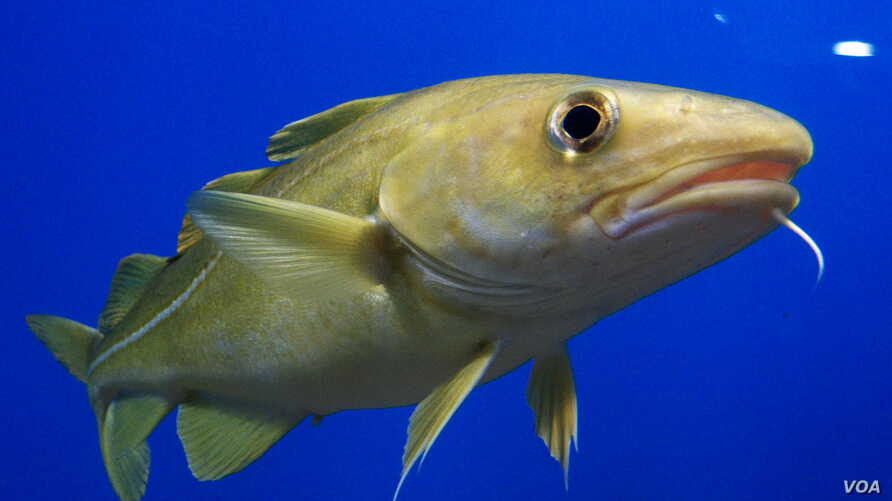 Cod populations in the Gulf of Maine are failing to rebound because of rapidly warming waters.