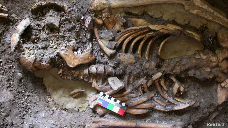 A skeleton dating from almost 10,000 years ago which was found in the Kotias Klde rock shelter in Western Georgia is seen in an undated picture courtesy of the University of Cambridge, in Cambridge, U.K.