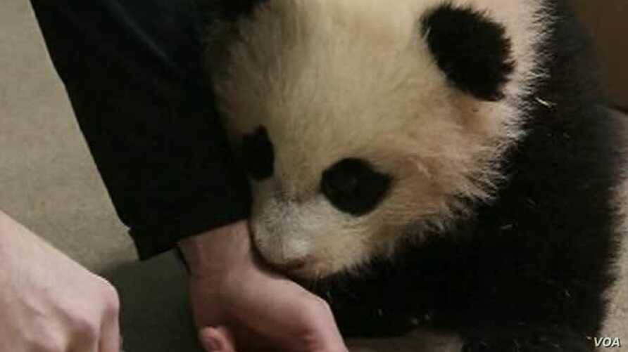 Panda Cub Bao Bao Growing Normally