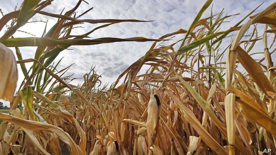 FILE - A dry cornfield is pictured in Ahlen, Germany on Aug. 21, 2018, after extreme tempreratures damaged the harvests of thousands of farmers.