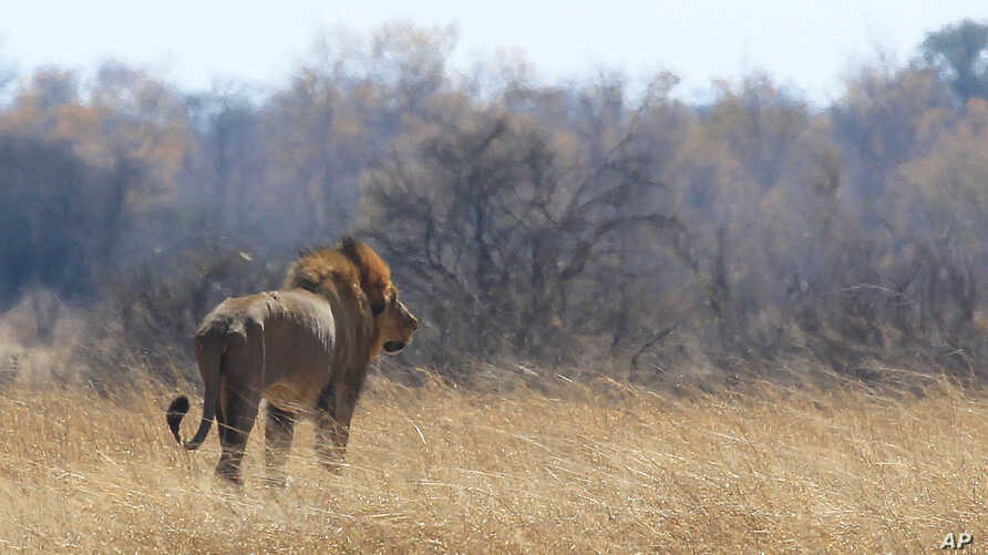 A lion named Tommy walks through scorched grass towards shade near a spot Cecil the lion was lured onto a farm in an alleged illegal hunt in Hwange about 700 kilometres south  west of Harare, Zimbabwe, Aug. 6, 2015.