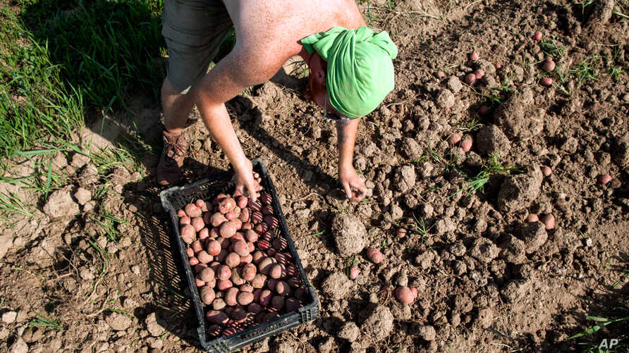 A farm hand harvests potatoes a month early at King's Hill Farm at Mineral Point, Wisconsin, July 30, 2012. The potato yield is about one fifth of the expected yield, but is the farm's only salvageable crop after the other crops perished in the droug...