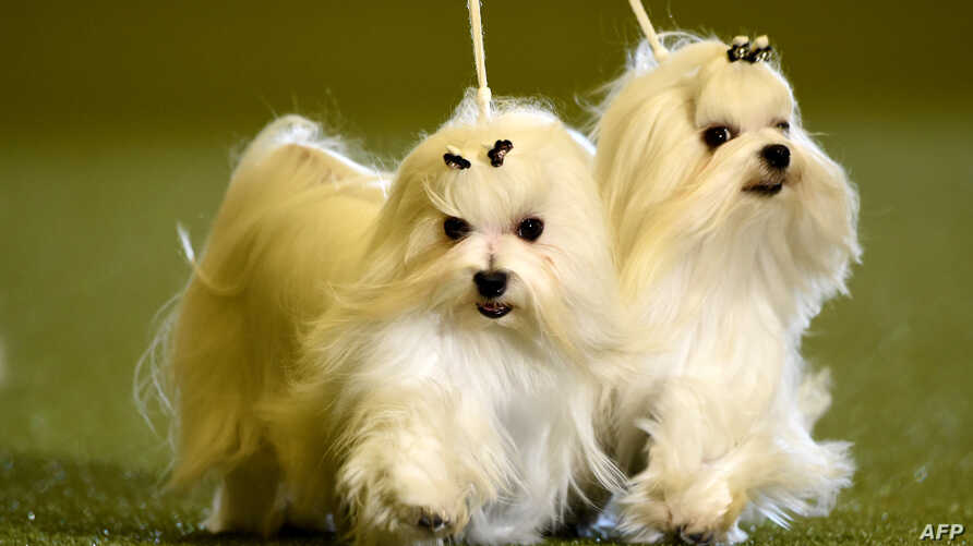 """Maltese dogs are presented during a dog show at the """"Hund & Katz"""" pets fair on May 11, 2014 in Dortmund, western Germany. The international dogs and cats show was running from May  9-11, 2014."""