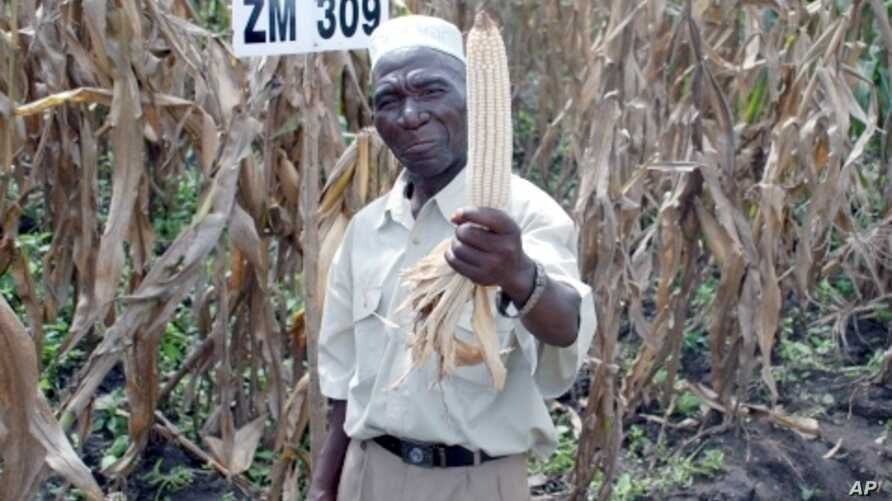 Farmer Bamusi Stambuli, from Balaka, Malawi, shows off a healthy ear of maize, a staple crop for more than 900 million people worldwide.