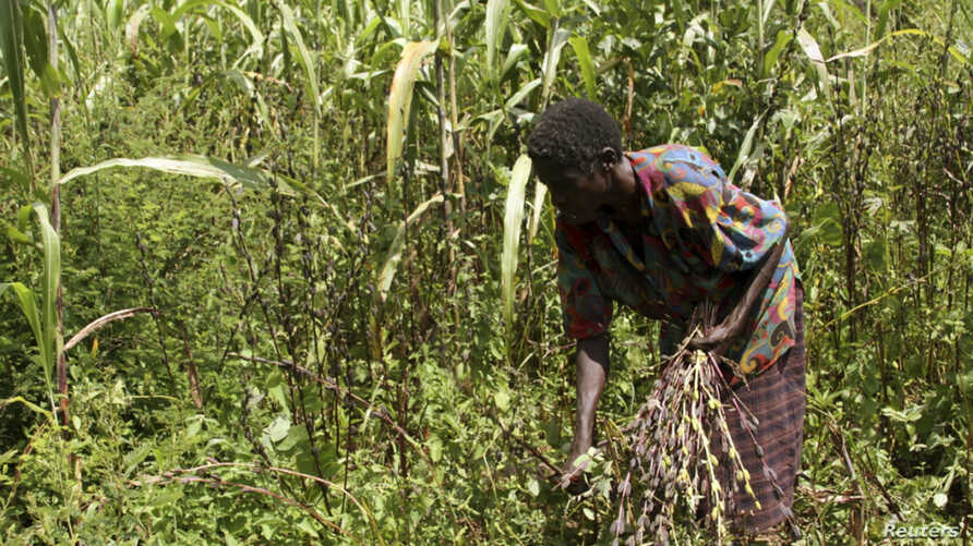 FILE - A woman weeds her corn plantation in the northern region of Uganda, Nov. 11, 2009.