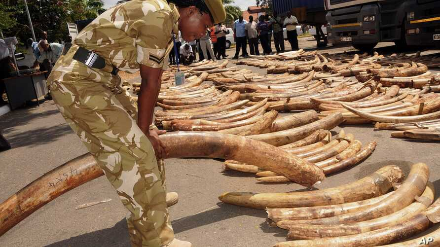 A Kenya Wildlife Service officer holds an elephant ivory tusk as they are displayed outside the Port of Mombasa's police station, Kenya, July 9, 2013.