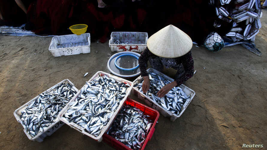 FILE - A woman sorts fish on Ly Son island, in Vietnam's central Quang Ngai province, July 2, 2014.