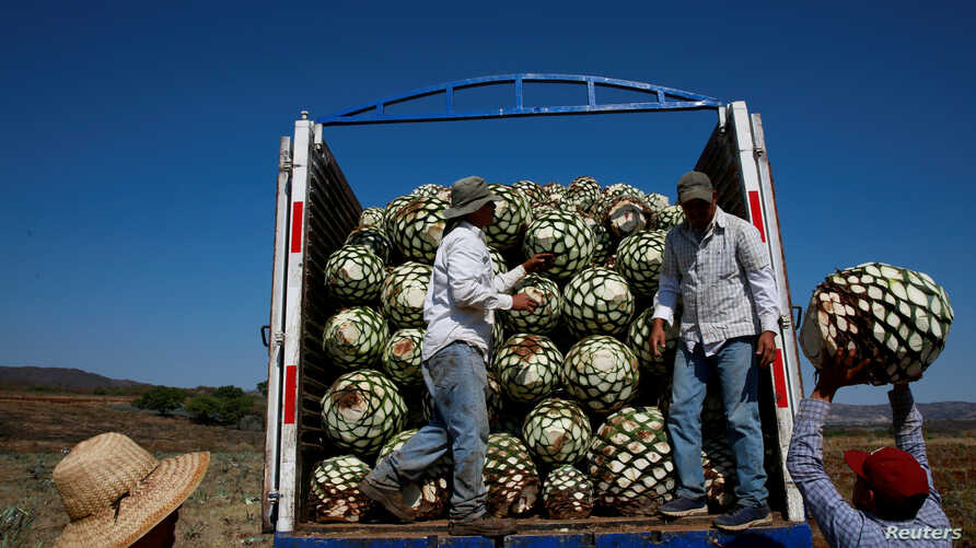 FILE - Farmers, also known as jimadores, load blue agave hearts onto a truck after harvest in Tequila, Jalisco, Mexico, April 13, 2018.