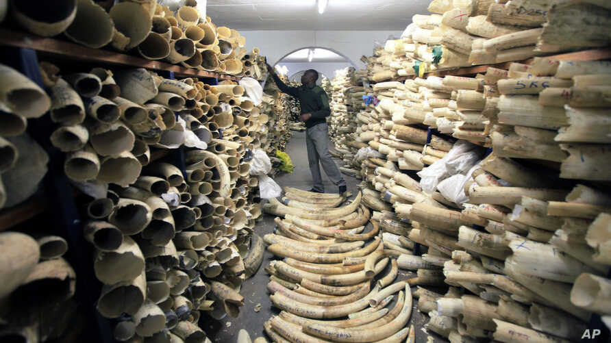 FILE - A Zimbabwe National Parks official inspects the stock during a tour of the country's ivory stockpile at the Zimbabwe National Parks headquarters in Harare, June 2, 2016. International and domestic ivory trades were continuing to drive poaching