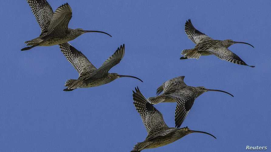 Far Eastern Curlew (Numenius madagascariensis) shore birds are shown in this Feb. 16, 2014 handout photo provided by Queensland University, Dec. 3, 2015.