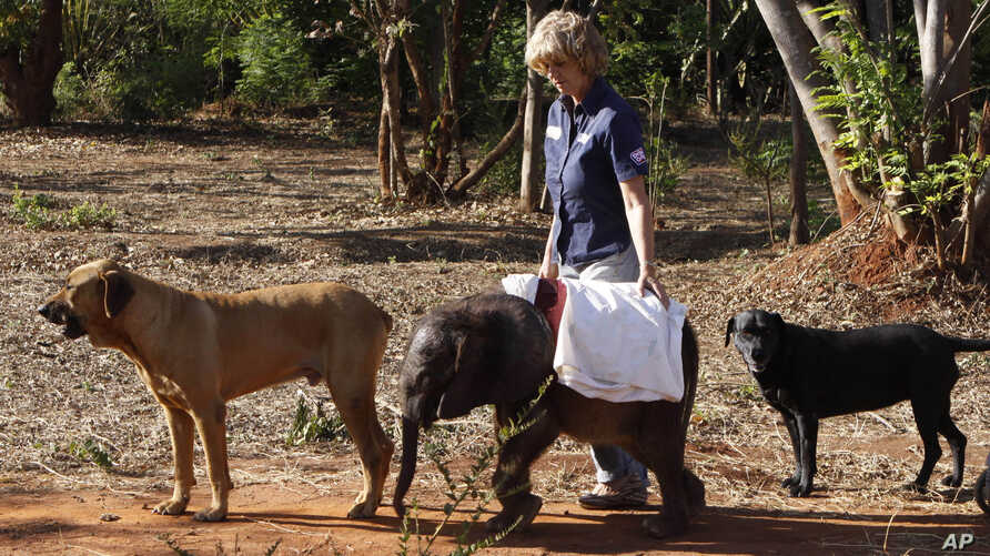 FILE - Seven-and-a-half month old orphaned elephant calf named Moses takes his daily walk with pet dogs Barney, left, Bagheera right, and foundation owner, Jenny Webb, center, at their home in Lilongwe, Malawi, Oct. 8, 2012..