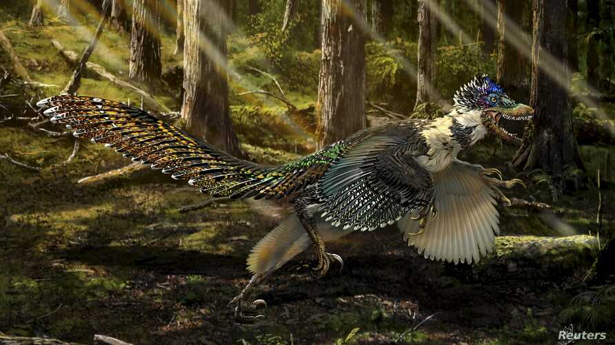 A reconstruction of the new short-armed and winged feathered dinosaur Zhenyuanlong suni from the Early Cretaceous (ca. 125 million years ago) of China is seen in this illustration image provided by the University of Edinburgh on July 15, 2015.