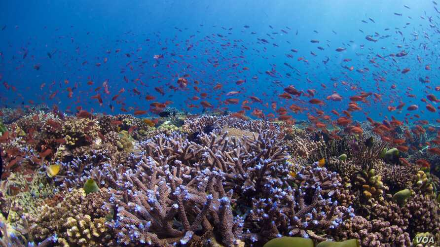 This healthy reef in the Philippines is home to Blue Acropora and Anthias corals.