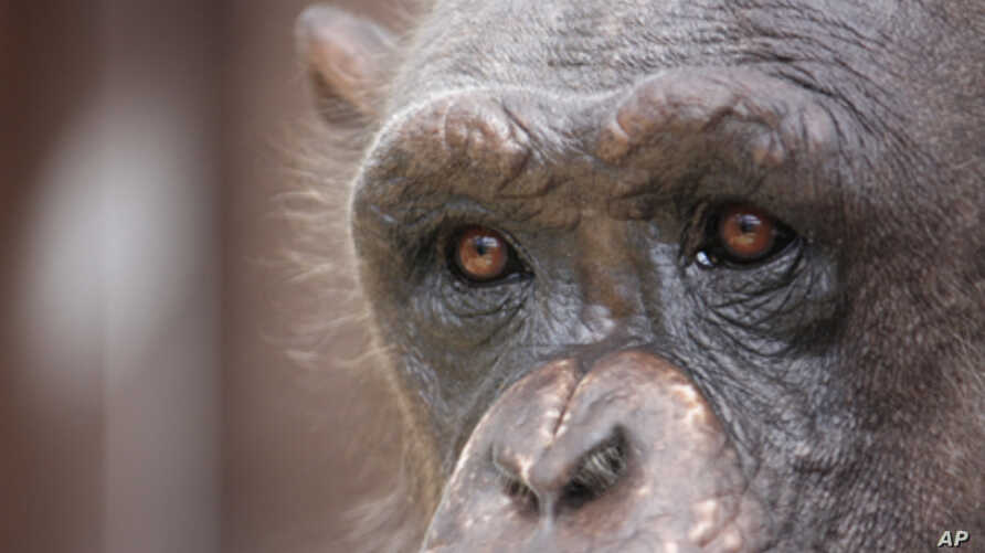 Study: Chimps Used in Medical Research Show Signs of Post