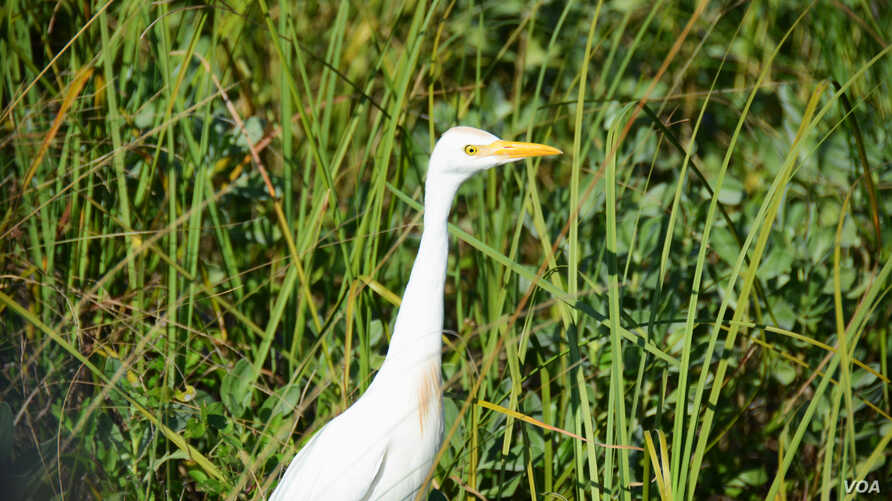 Egrets -- and other wading birds of all shapes and sizes -- are abundant and can be closely approached by car along Black Point Wildlife Drive in the Merritt Island National Wildlife Refuge.