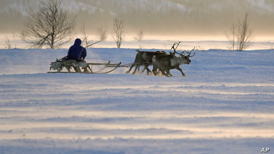 FILE - In this photo taken on Sunday, March 15, 2015, a Nenets man rides in a reindeer sled at the Reindeer Herder's Day in the city of Nadym, in Yamal-Nenets Region, 2500 km (about 1553 miles) northeast of Moscow.