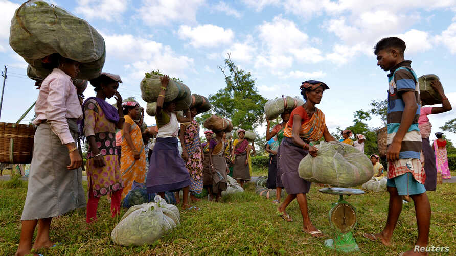 Tea garden workers gather to weigh tea leaves after plucking them at a tea estate in Nagaon district, in the northeastern state of Assam, India, Nov. 2, 2016.