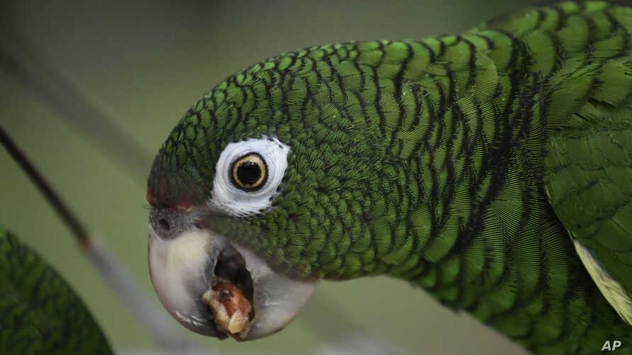 A Puerto Rican parrot eats inside one of the flight cages in the Iguaca Aviary at El Yunque, Puerto Rico, where the U.S. Fish & Wildlife Service runs a parrot recovery program in collaboration with the Forest Service and the Department of Natural and